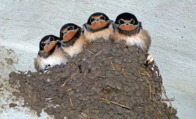 nido de golondrina
